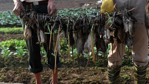 Một đêm, ông và nhóm của mình có thể bắt được 10 kg chuột trên cánh đồng.