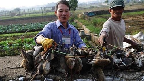 Ít nhất 500.000 ha lúa trong số 7,5 triệu ha trên cả nước bị chuột tàn phá mỗi năm